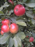 shrubs,fruit trees and ornamental trees available